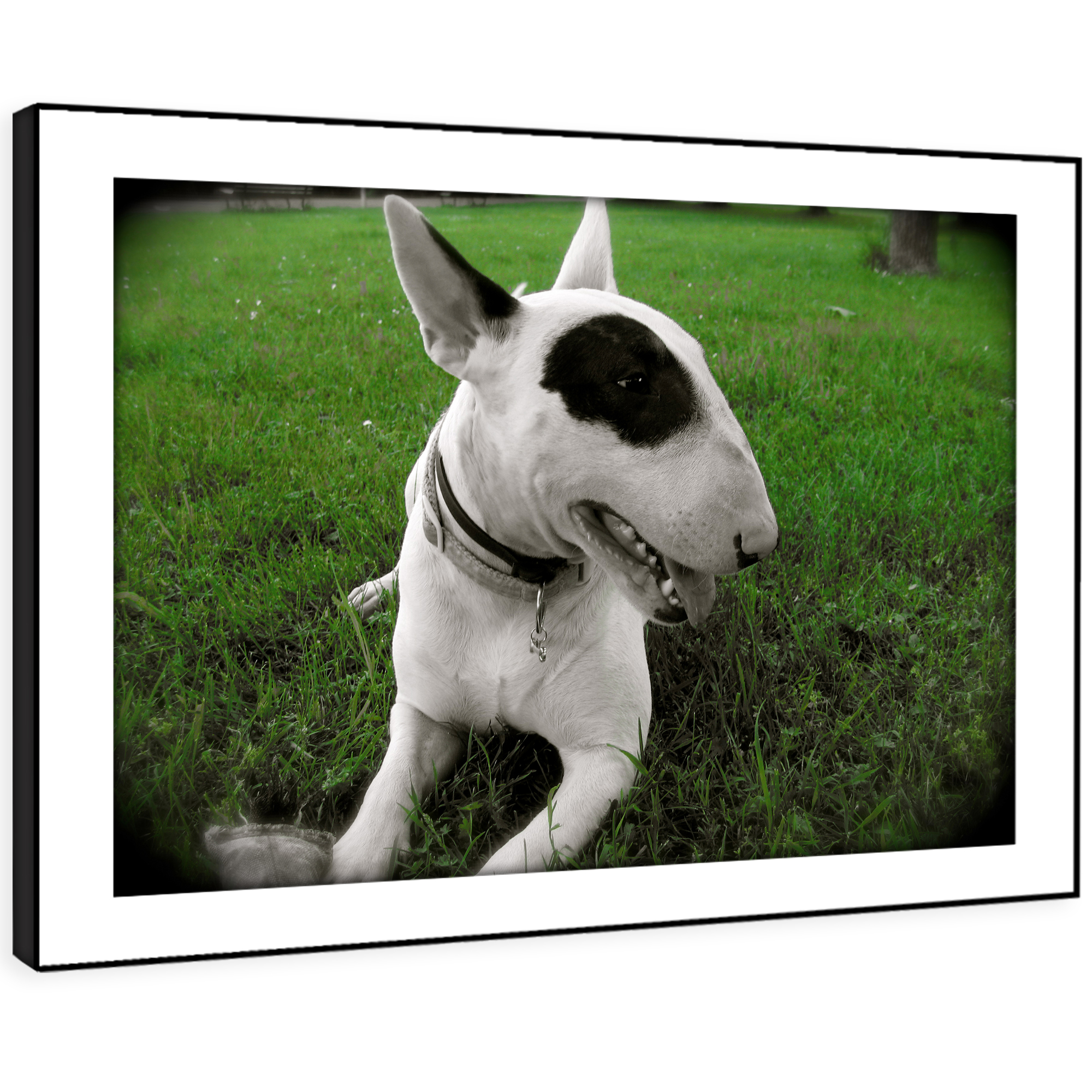 A193 Weiß Bull Terrier Dog Funky Animal Framed Wall Art Large Picture Prints