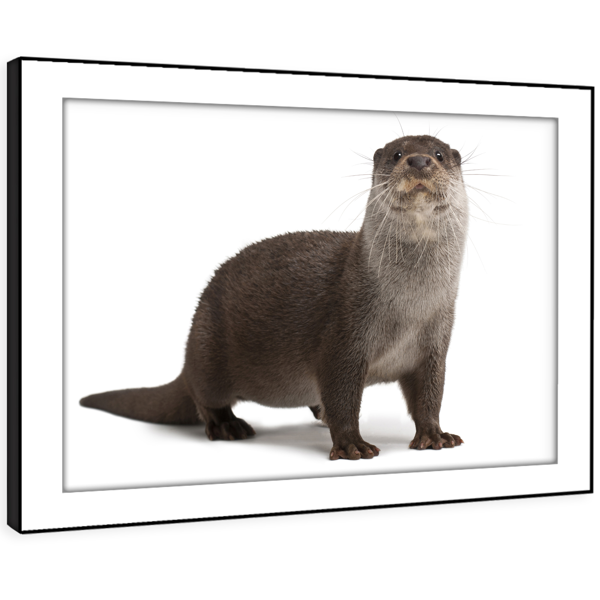 A355 Otter Cute grau Weiß Cool Funky Animal Framed Wall Art Large Picture Print